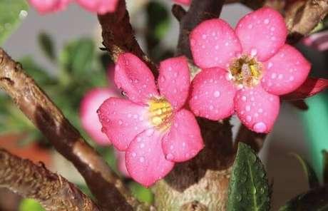 38. Rosa do deserto no jardim