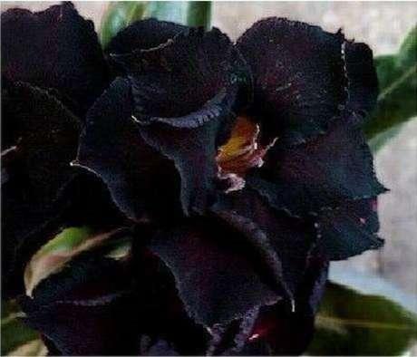 18. A rosa do deserto preta são super lindas e diferentes