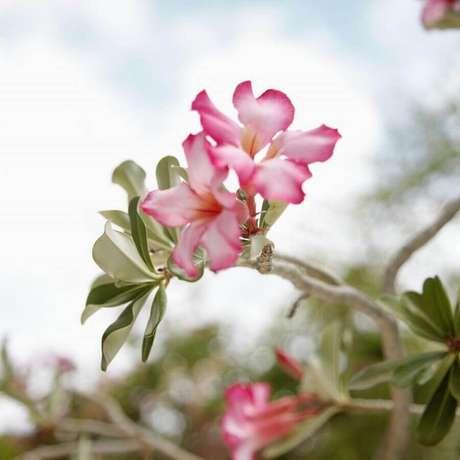 19. As rosas do deserto se adaptam bem a climas tropicais