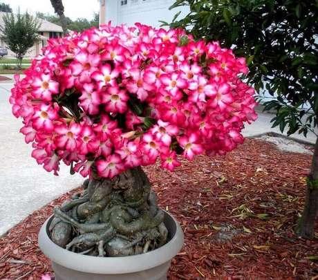 2. Quando plantada em vasos a rosa do deserto fica parecida com uma pequena árvore devido as suas grandes raízes