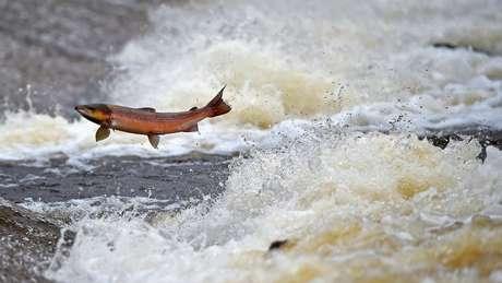 A iniciativa dos cozinheiros surgiu depois que o Beagle passou a ser alvo de interesse de grandes produtoras do salmão de cativeiro