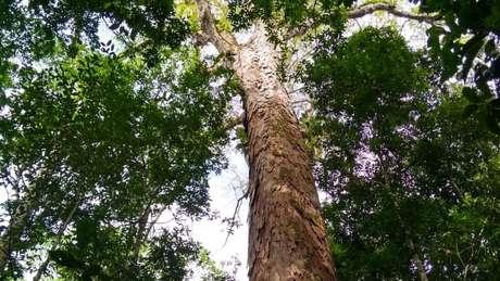 A mais alta das árvores gigantes da Amazônia está dentro de uma unidade de conservação estadual de uso sustentável, a Floresta Estadual do Parú (PA)