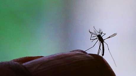 Descobertas recentes abrem novas frentes relacionadas ao estudo da zika, transmitida pelo Aedes aegypti