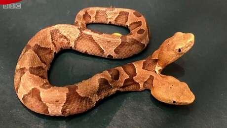 As cobras de duas cabeças geralmente são formadas por um embrião que começa a se dividir em gêmeos idênticos, mas o processo se interrompe