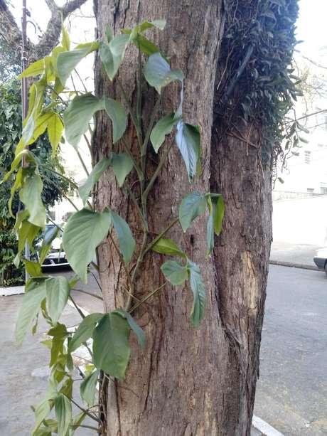 Há uma média de duas epífitas em cada árvore nativa ou plantada