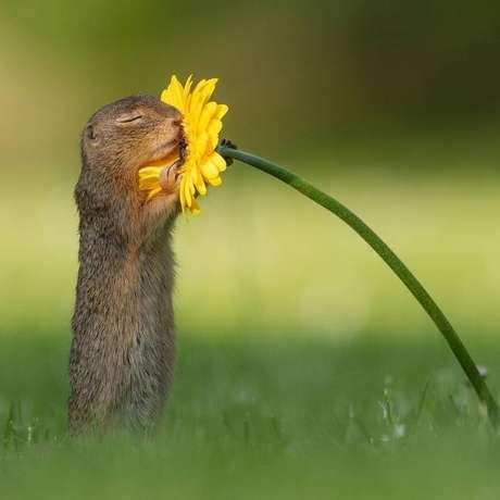 Dick van Duijnpublicou uma sequência de fotos que mostra o esquilo começando a se aproximar da flor até finalmente cheirá-la.