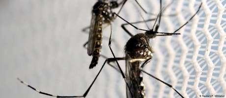 Aedes aegypti: mosquito é transmissor de dengue, zika e chikungunya
