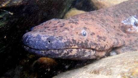 Salamandra do sul da China é o maior anfíbio do mundo