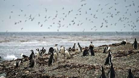 Magalhães chegou a Madalena na época do ano em que essa ilha no estreito fica repleta de pinguins