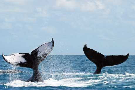 Baleias Jubartes nadam nas águas do Parque Nacional Marinho de Abrolhos.