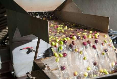 Azeitonas passando por processo de lavagem no processo de produção de azeite