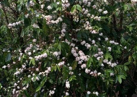 Pé de café com flores em Espírito Santo do Pinhal (SP)  31/08/2016 REUTERS/Reese Ewing