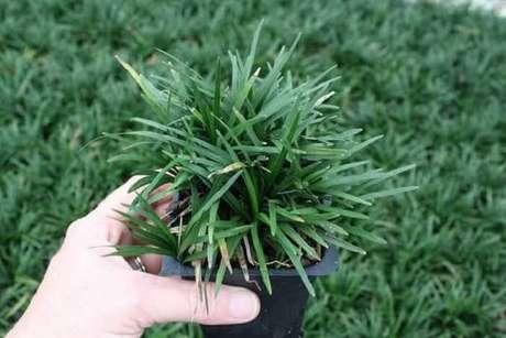 6. Muda de grama preta pronta para plantio. Fonte: Grama natural
