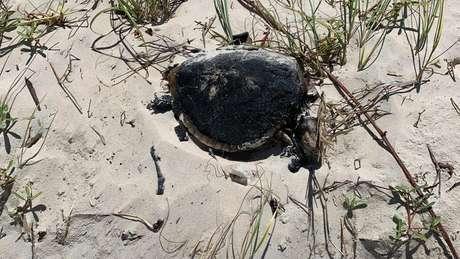 Tartaruga encontrada morta na Praia da Redinha, Natal (RN), em 21 de setembro; dano causado por esse vazamento é um dos maiores já registrados em mar no Nordeste