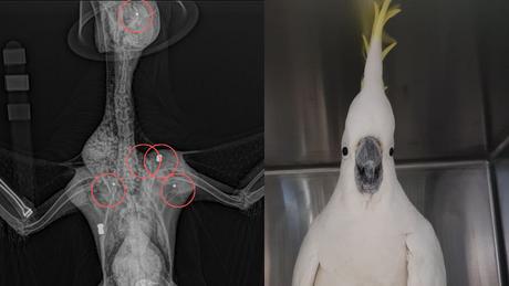 Exames de raios-x mostraram que um dos projéteis se alojou próximo ao olho do bichinho