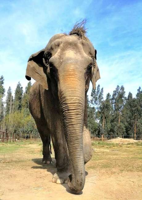 A elefanta Ramba, após o resgate, no Chile. Elaera usadaem apresentações circenses nopaís.