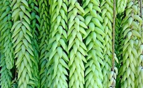 3. Rabo de Burro pertence a família das suculentas. Fonte: Pinterest