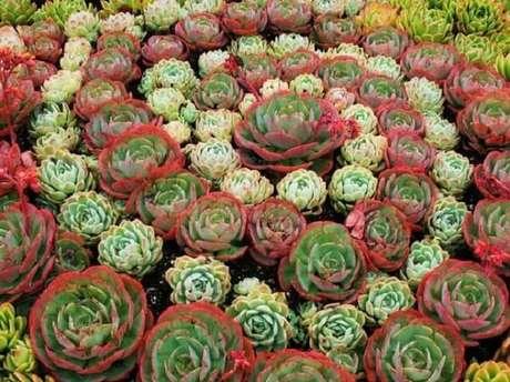 50. Forme um lindo jardim de suculentas no seu quintal. Fonte: Revista Metropole
