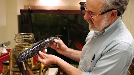 Biólogo Richard Horwitz mostra um cabeça-de-cobra encontrado em 2005 na Filadélfia. Acredita-se que muitos desses peixes foram introduzidos intencionalmente por pessoas que os compraram como peixes ornamentais