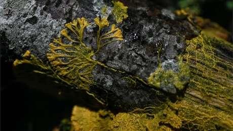 O 'Blob' é geralmente encontrado em locais úmidos e frescos, como a casca de algumas árvores
