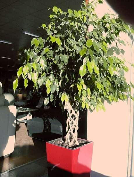 5. A Ficus-benjamina é uma planta que filtra as impurezas do ar. Fonte: Wikimedia Commons