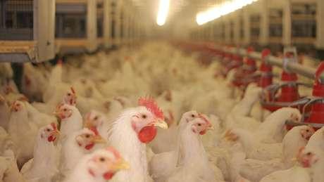 Exportação de frango brasileiro está entre as prioridades da visita de Bolsonaro à Arábia Saudita