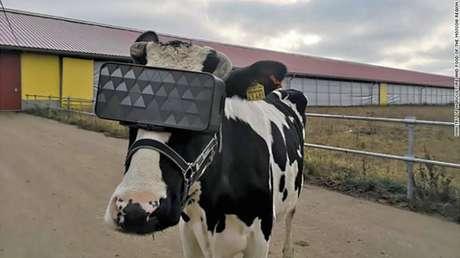Vaca em fazenda russa que testa realidade virtual nos animais