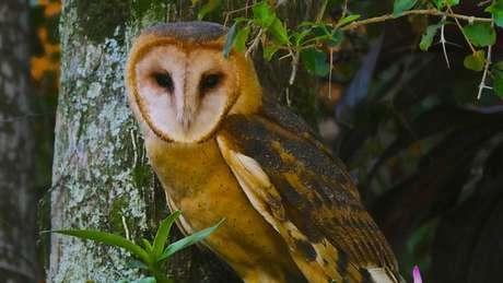 A coruja suindara também é conhecida como coruja-das-torres, coruja-da-igreja ou rasga-mortalha