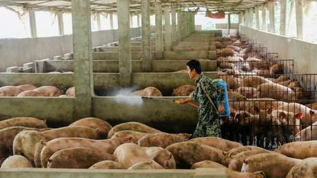 Até 200 milhões de porcos na China podem estar sendo abatidos ou mortos por infecção, estimou o banco holandês Rabobank.