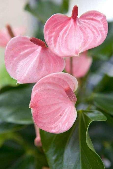 6. O antúrio rosa é super delicado. Foto: Pinterest