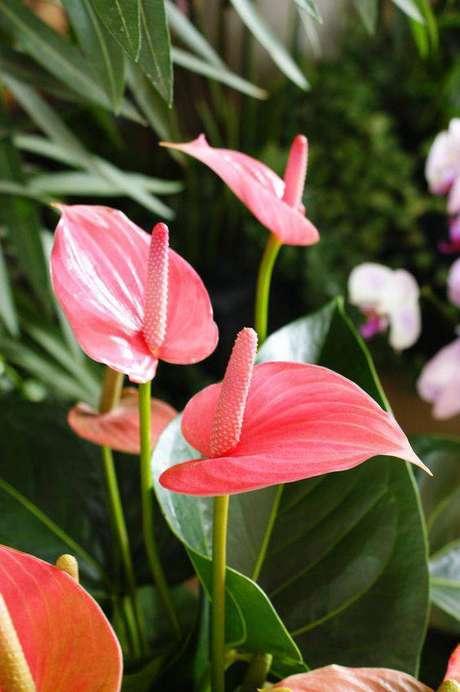 25. O antúrio é uma flor delicada. Foto: Flickr