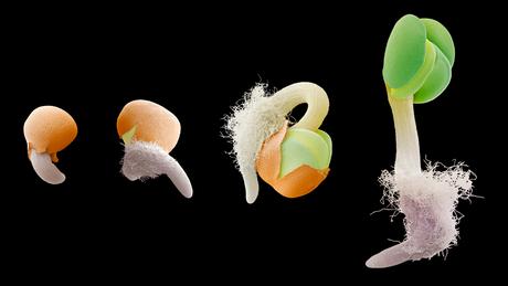 Provar que sementes poderiam sobreviver por longos períodos na água do mar e então germinar era importante para explicar a presença de uma mesma espécie em lugares distantes entre si