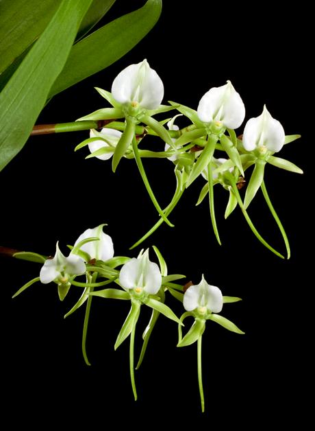 A 'orquídea de Darwin', Angraecum sesquipedale, tem um nectário de 30 centímetros de comprimento. Que inseto poderia alcançar o néctar e polinizá-la?