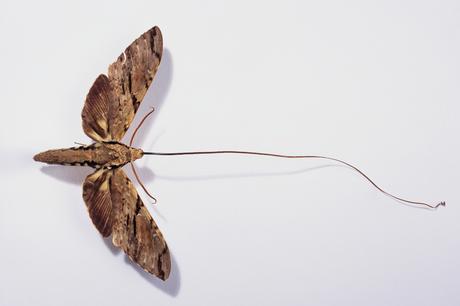 Darwin previu a existência de uma mariposa com uma probóscide (língua) suficientemente longa para polinizar a orquídea de Madagascar