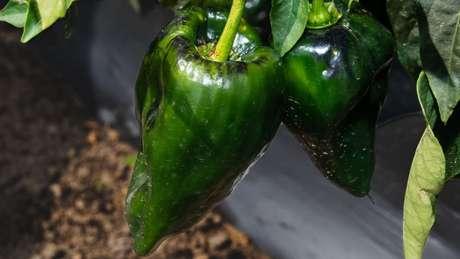 Os cientistas acreditam que as pimentas desenvolveram sua 'ardência' para afastar mamíferos e insetos