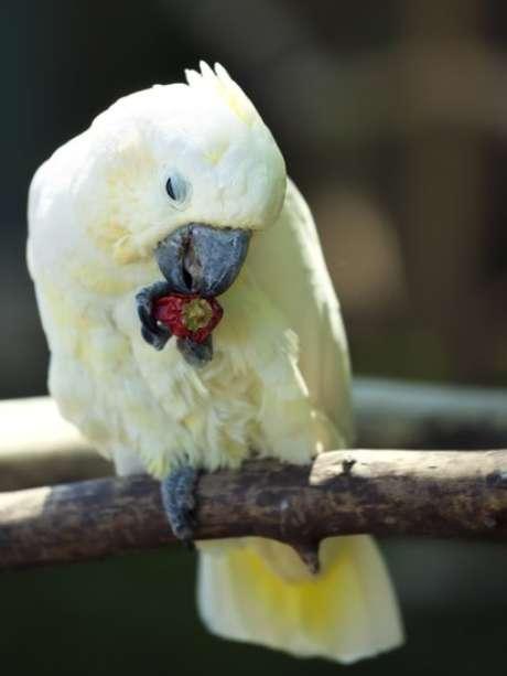 Diferentemente de mamíferos e insetos, os pássaros não têm problema em comer pimenta