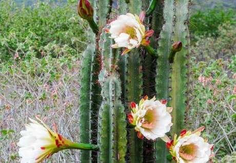 4. O Cereus Jamacaru é um tipo de cacto brasileiro. Fonte: Pinterest