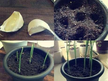5. Como plantar alho em vaso. Fonte: Jardim do Mundo