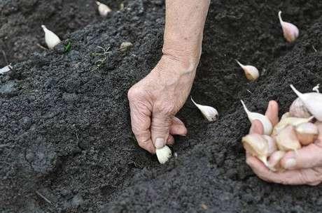 3. Como plantar alho em casa. Fonte: iStock
