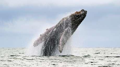 População de baleias-jubarte esteve à beira da extinção nos anos 1980