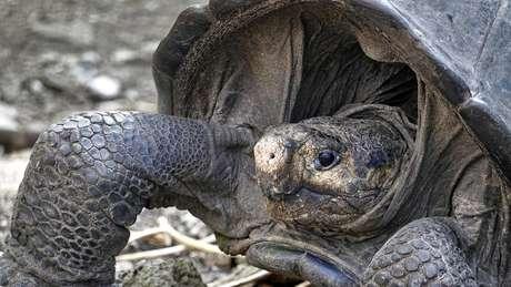 Tartaruga gigante fêmea foi avistada em Galápagos pela primeira vez desde 1906