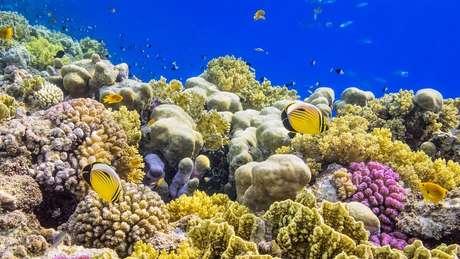 Corais do Mar Vermelho podem ajudar a salvar populações de corais em todo o mundo