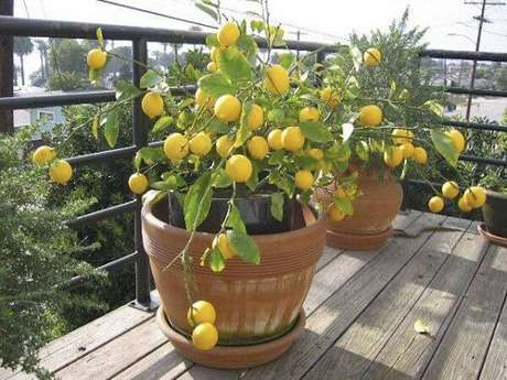 16. Cultive árvores frutíferas em vasos. Fonte: Pinterest