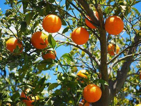 4. A laranjeira é uma das árvores frutíferas que pode ser cultivada em vasos. Fonte: Manah da Terra