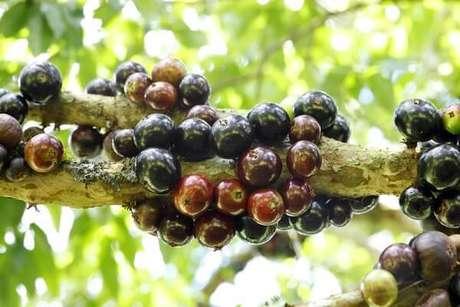 2. A jabuticabeira é uma das árvores frutíferas brasileiras. Fonte: Pinterest