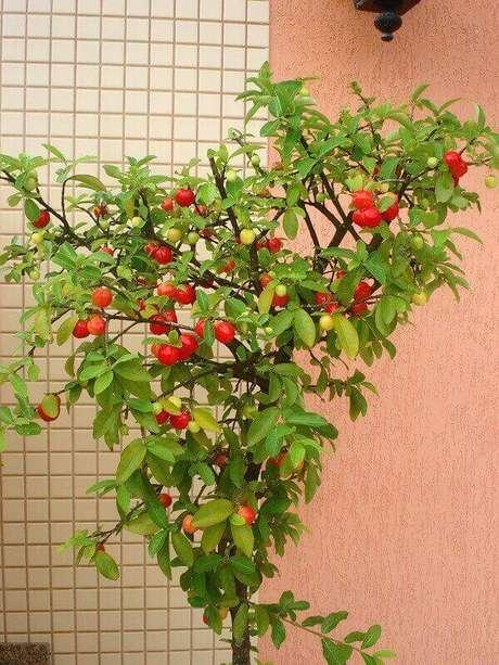 17. A acerola é uma das árvores frutíferas que podem ser cultivadas em vasos. Fonte: Pinterest