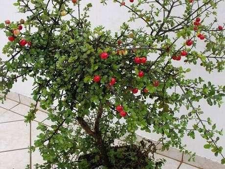 7. A acerola é uma das árvores frutíferas que pode ser cultivada em vaso. Fonte: Pinterest