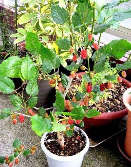 19. As amoras são uma das árvores frutíferas que podem ser cultivadas em vasos e jardineiras. Fonte: Pinterest