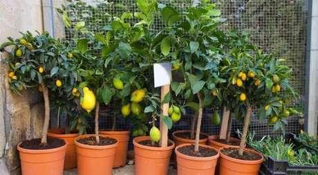 20. Invista em árvores frutíferas que podem ser cultivadas em vasos. Fonte: GreenMe