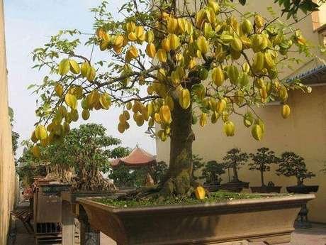 21. A carambola é uma das árvores frutíferas que pode ser cultivada em vasos. Fonte: Mercado Livre